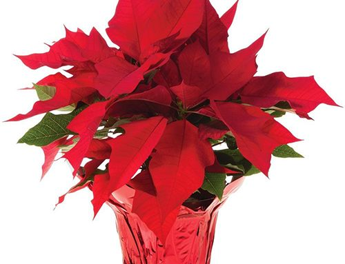 Holiday Poinsettias, Cactus and Luminaries